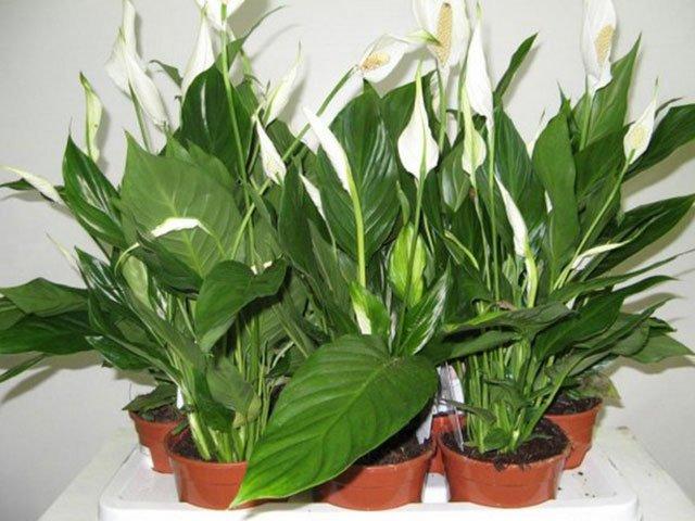 Уход за комнатными растениями летом