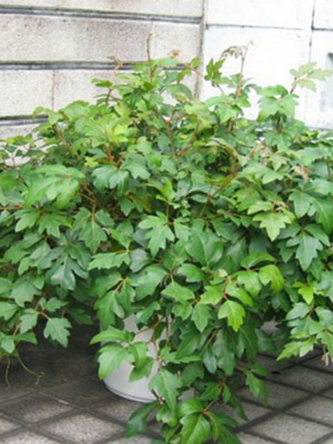 Комнатный цветок роициссус