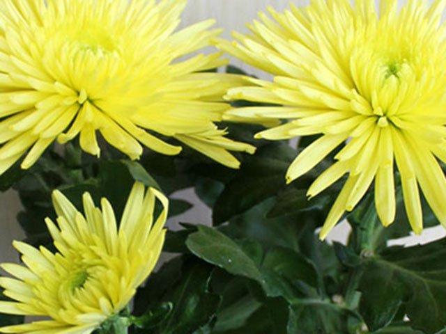 Уход и пересадка в домашних условиях хризантемы
