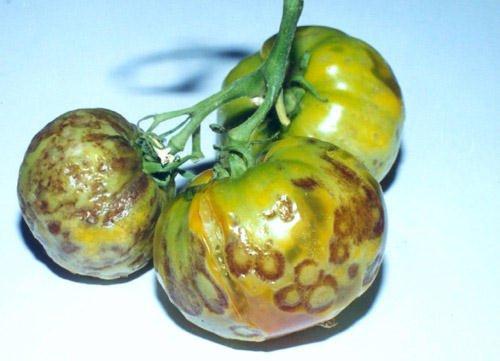 Стрик на томате и помидорах