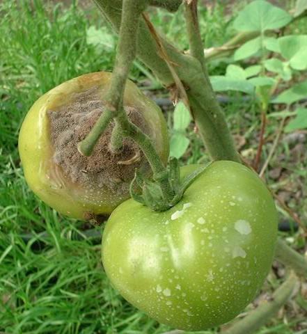 Серо-белая гнить томатов