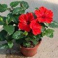 Как вырастить в домашних условиях розы из семян
